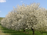 Fungizide im Obstbau