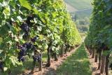 Fungizide Weinbau Reben gegen Pilze gesund erhalten