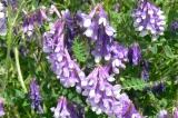 Gründünger Bienenweide zur Gründüngung auch als Blumenwiese