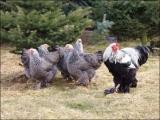 Hygiene in der Hühnerhaltung