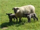 Hygiene in der Schafhaltung