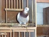 Stallreinigung Tauben