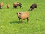 Stallhygiene bei Ziegen