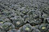 Unkrautvernichter für Gemüse und Gemüseanbau