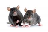 giftweizen und rattengift als k der g nstig erwerben. Black Bedroom Furniture Sets. Home Design Ideas
