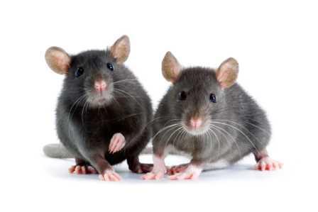 rattengift rattenk der rattenfallen rattenbek mpfung. Black Bedroom Furniture Sets. Home Design Ideas