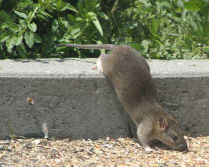 Ratte Im Garten Vertreiben : Rattengift gegen Ratten im Haus